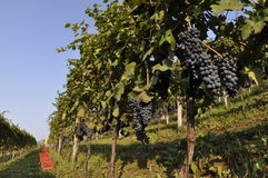 Grapes in vineyard. Low angle view of bunches of dark blue grapes in vineyard Royalty Free Stock Photo
