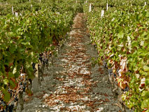 Grapes and vineyard. Path through the vineyard with grapes Stock Photo