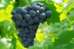 Grapes in Vineyard. Black Grapes in a sunny Vineyard Stock Image