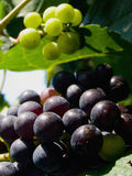 Grapes in vineyard Royalty Free Stock Images