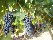 Grapes vineyard Royalty Free Stock Image