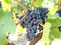 Grapes vineyard Royalty Free Stock Images