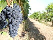 Grapes vineyard Stock Photography