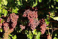 Grapes and vineyard Royalty Free Stock Photography