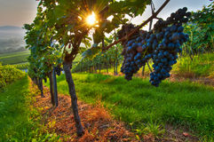 Grapes in a vineyard Stock Photography