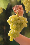 Grapes and vineyard Royalty Free Stock Images