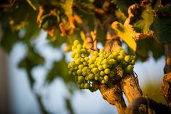 Grapes in a vineyard Royalty Free Stock Images