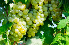 Grapes in vineyard Stock Photos