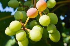 Grapes in vineyard Royalty Free Stock Photo