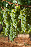 Grapes in vineyard Royalty Free Stock Image