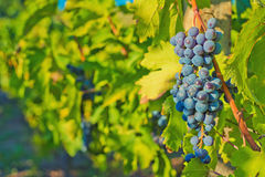Grapes and vineyard Stock Image