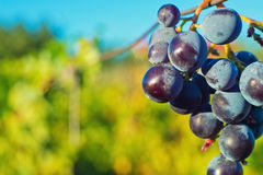Grapes and vineyard Royalty Free Stock Photo