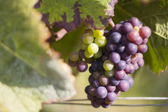 Grapes in vineyard. Bunch of ripe grapes during harvest season in a vineyard in France Royalty Free Stock Images