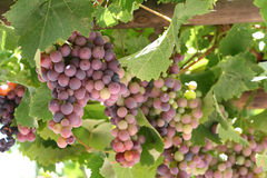 Grapes in Vineyard royalty free stock photography