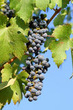 Grapes in Vineyard Stock Image
