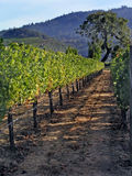 Grapes in the vineyard. Vineyard in California Royalty Free Stock Photography