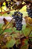 Grapes in a vineyard Stock Image