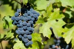 Grapes at a vineyard Stock Photography