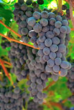 Grapes in a vineyard Stock Images