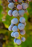 Grapes in a vineyard royalty free stock photography