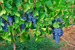 Grapes in a vineyard Royalty Free Stock Image