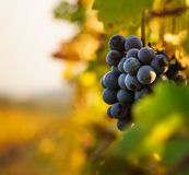 Grapes in the vineyard with autumn sun, colors of autumn, ripe fruits stock image