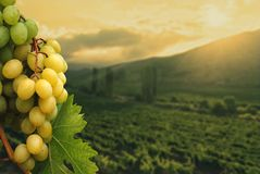 Grapes on vineyard background. Royalty Free Stock Image