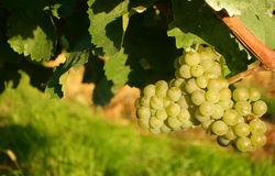Grapes / vineyard background. Spring / summer / autumn season - winegrowing / natural landscape stock image