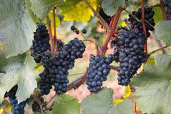 Grapes / vineyard background. Spring / summer / autumn season - winegrowing / natural landscape stock images