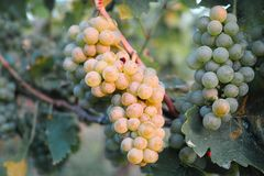 Grapes / vineyard background. Spring / summer / autumn season - winegrowing / natural landscape stock photo