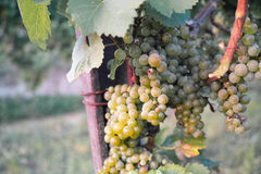 Grapes / vineyard background. Spring / summer / autumn season - winegrowing / natural landscape stock photography