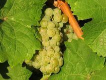 Grapes / vineyard background. Spring / summer / autumn season - winegrowing / natural landscape royalty free stock photo
