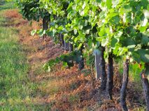 Grapes / vineyard background. Spring / summer / autumn season - winegrowing / natural landscape royalty free stock images