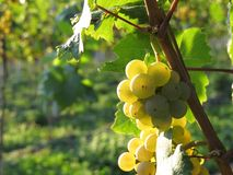 Grapes / vineyard background Stock Images