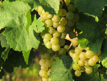 Grapes / vineyard background. Spring / summer / autumn season - winegrowing / natural landscape royalty free stock photography