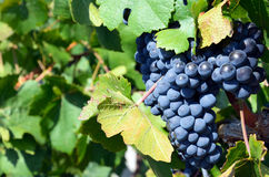 Grapes in vineyard Stock Photos