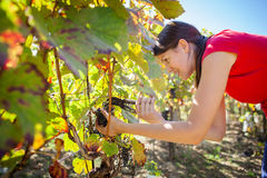 Grapes in a vineyard being harvested by a female vintner Royalty Free Stock Photo