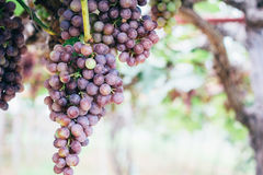 Grapes in vineyard. Branch of blue grapes on vine in vineyard stock photography