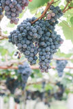 Grapes in vineyard. Branch of blue grapes on vine in vineyard royalty free stock images