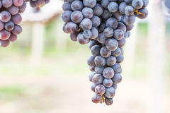 Grapes in  vineyard Royalty Free Stock Photo