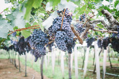 Grapes in vineyard. Branch of blue grapes on vine in vineyard royalty free stock photo