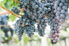 Grapes in vineyard. Branch of blue grapes on vine in vineyard stock photo