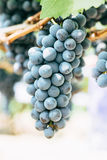 Grapes in vineyard. Branch of blue grapes on vine in vineyard royalty free stock photography