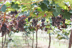 Grapes in vineyard. Branch of blue grapes on vine in vineyard stock image