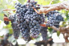 Grapes in vineyard. Branch of blue grapes on vine in vineyard stock images