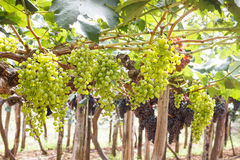 Grapes in vineyard. Branch of green grapes on vine in vineyard stock image