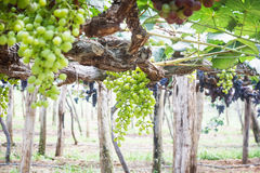 Grapes in vineyard. Branch of green grapes on vine in vineyard royalty free stock photography