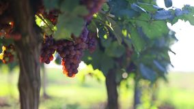 Grapes in vineyard. Branch of red wine grapes