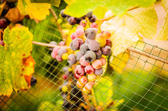 Grapes In Vineyard Stock Image