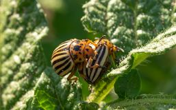Grapes, vineyard, bud, spring, winemaking, vine, closeup, seedling, agriculture, leaf, macro, branch, green, garden, growth, fresh. Colorado potato beetle eats a stock photos